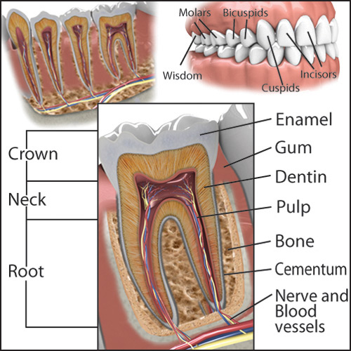 Tooth Anatomy An Overview Of Your Teeth Patient Education